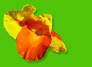 Canna - Colours of Summer 2