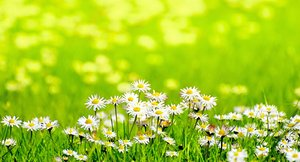 Daisies in sunny meadow